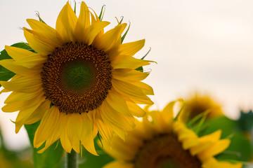Summer sunflower field. Field of sunflowers with blue sky