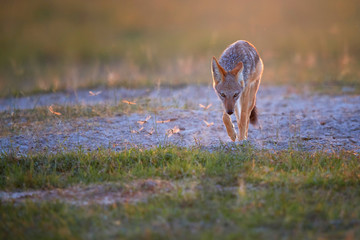 Black Backed Jackal, Canis Mesomelas and dragonflies, illuminated by the setting sun. Low angle photo, backlighted jackal in a vast Nxai Pan national park. African wildlife photography, Botswana.