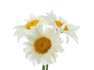 Beautiful chamomile flowers on white background