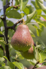 ripe pear, pear tree. William Bon Chretian pears ripening on the tree. A pair of ripe pears on the branches. vertical photo