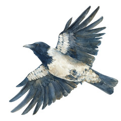 The hooded crow in flight. Watercolor hand drawn illustration isolated on white background.