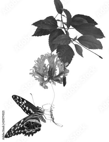 Papillon Sur Fleur D Hibiscus En Noir Et Blanc Fond Blanc Stock