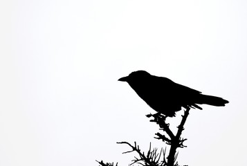 silhouette of a Crow on the top of a tree, white background
