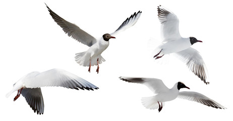 small cutout four flying black-headed gulls