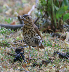 Busy Thrush collecting worms