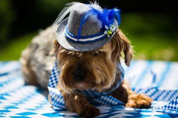 yorkshire terrier with hat, white blue, rhombuses, oktoberfest