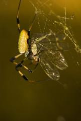 Banana spider, FLorida