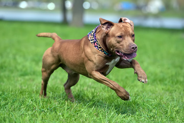 a brown pit bull plays