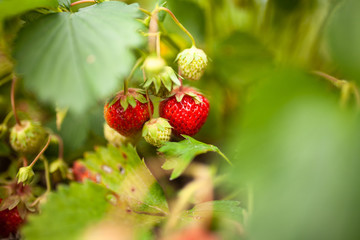 Ripe strawberries growing