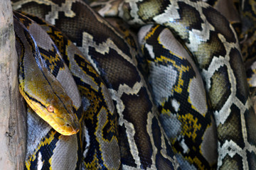 Close up of the big and colorful snakes,python