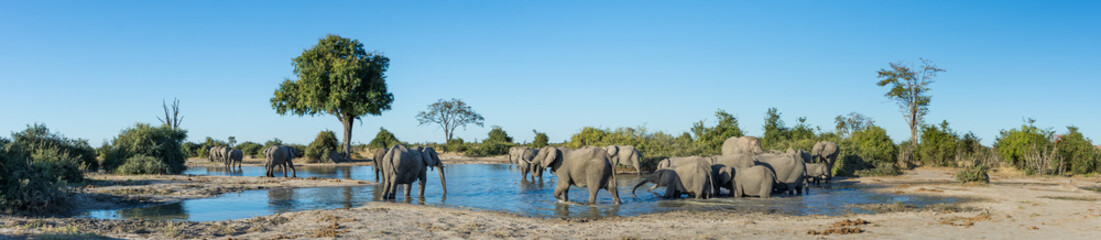 A colour, panorama image of a herd of elephants, Loxodonta africana, bathing and drinking at a dwindling waterhole in Savute, Botswana.