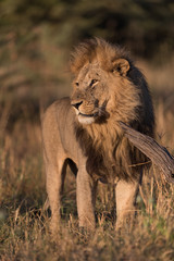 A vertical, full length, colour photograph of a handsome male lion, Panthera leo, standing in golden side light in Savute, Botswana.
