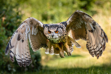 A beautiful, huge European Eagle Owl flying low over fields and trees Fototapete