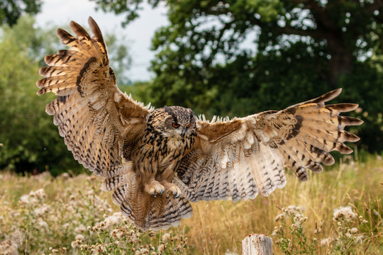 Huge, majestic Eagle Owl in flight over a grassy meadow