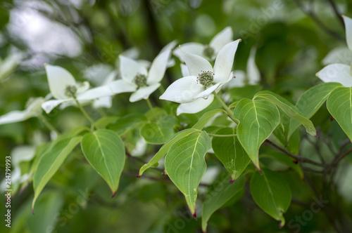 Cornus kousa ornamental and beautiful flowering shrub bright white cornus kousa ornamental and beautiful flowering shrub bright white flowers with four petals on blooming mightylinksfo