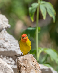 Western tanager male at Capulin Spring, Sandia Mountains, New Mexico