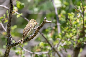 Western wood pewee on branch in Sandia Mountains, New Mexico