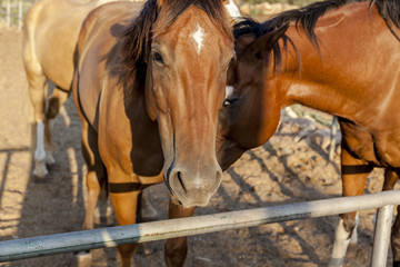 Bay and chestnut horses with white marks looking straight at you one leaning on another