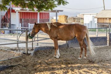Chestnut blond horse with white marks drinking from green drinking device in farm dirt inclosure with hay and red barn on background under a tree