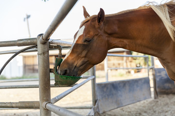 Chestnut blond horse with white marks drinking from green drinking device in farm dirt inclosure closeup
