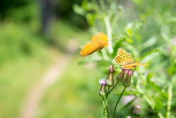 orange butterfly with dots - Argynnis paphia - on a thistle and a approaching blurry butterly