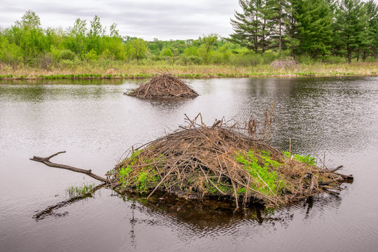 Two Beaver Dams in the Forest