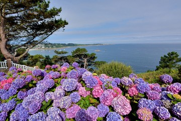 Fond de hotte en verre imprimé Hortensia Magnifiques hortensias de Bretagne