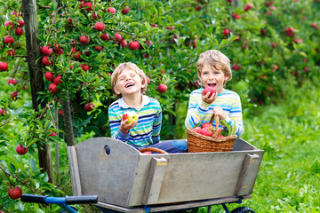 Two adorable happy little kids boys picking and eating red apples on organic farm, autumn outdoors....