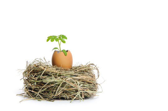A green plant in cracked eggshell  in grassy nest