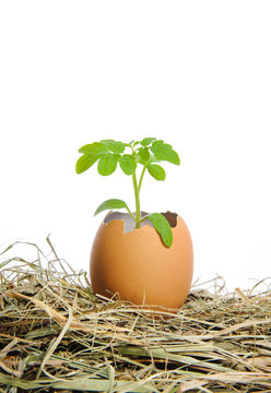 A green plant in cracked eggshell  in a hay