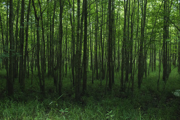 Dense rows of trees growing in a forest