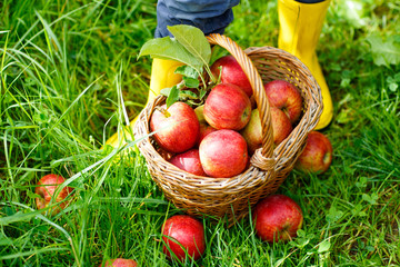 Closeup of basket with red apples and rubber boots on little child