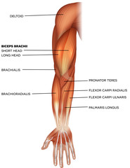Muscles of the hand and arm beautiful bright illustration on a white background