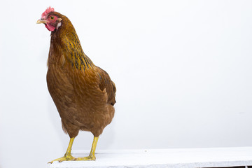 Red chicken standing on rustic white board table top. Clean white composition with plenty of design background.