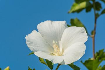 White china rose flower in a garden.