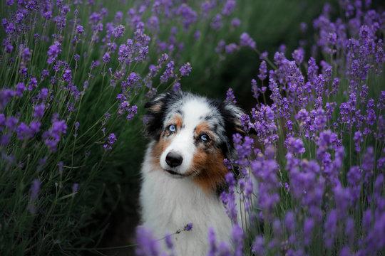 Australian Shepherd dog on the field of Lavender. Pet on the nature
