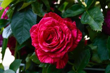 A large beautiful pink rose among the leaves. Rose bush.