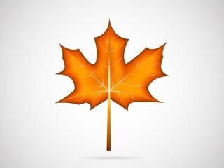 One orange maple leaf isolated on white background.