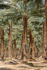 Plantation of Phoenix dactylifera, commonly known asdateordate palm trees in Arava and Negev desert, Israel, cultivation of sweet delicious Medjool date fruits