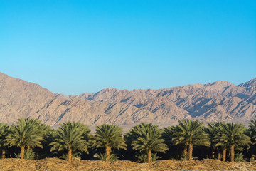 Plantation of Phoenix dactylifera, commonly known asdateordate palm trees in Arava desert, Israel, cultivation of sweet delicious Medjool date fruits, view on Jordan mountains