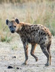 Printed kitchen splashbacks Hyena Spotted hyena zambia africa
