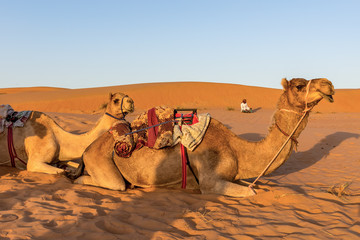 Camels resting on the ground at sunset - Wahiba sands, Oman desert