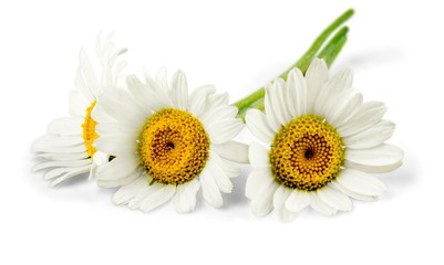 Chamomile or daisy flowers - isolated