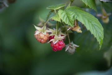 BERRIES - raspberry kept up