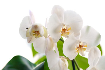 Beautiful white orchid flowers on white background. Tropical plant
