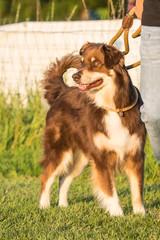 Portrait of a border collie dog living in belgium