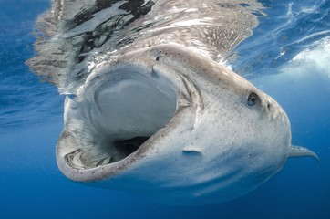 Close up of whale shark swimming in water