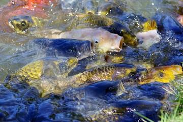 餌に群がる鯉