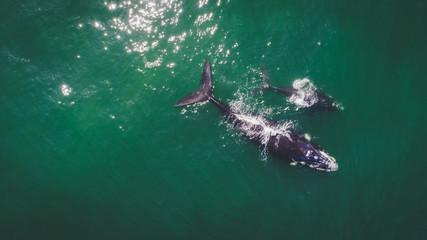Aerial view over a Southern Right Whale and her calf along the overberg coast close to Hermanus in South Africa Wall mural
