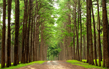 Country road surrounded by colorful pine wood in rainy season